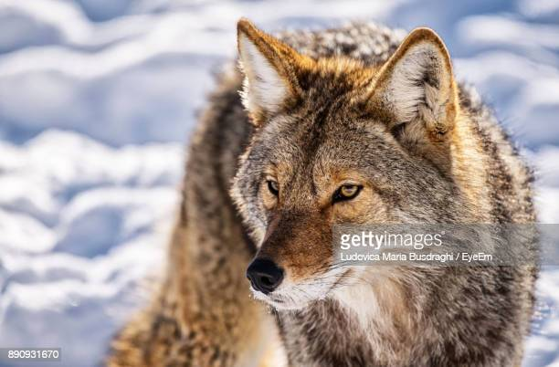 close-up of wolf on snowy field - coyote stock pictures, royalty-free photos & images