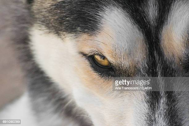 Close-Up Of Wolves Eye