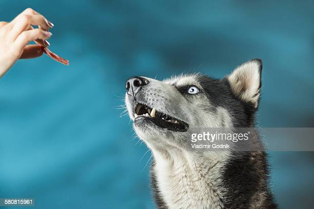 Close-up of woman feeding Siberian Husky over colored background