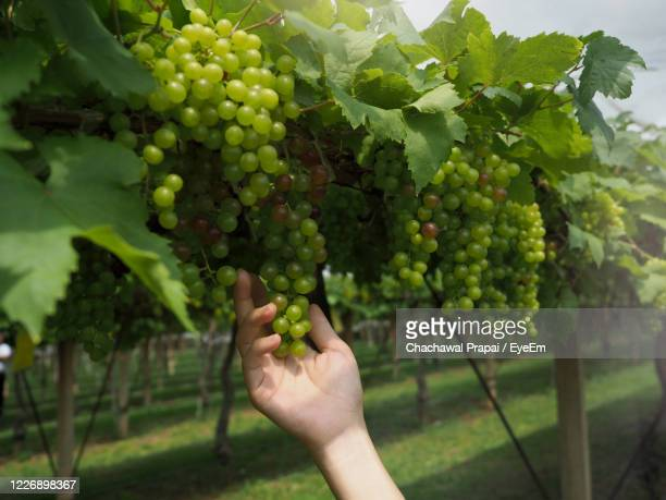 closeup of woman hand touching the green grape in the open field. - eyeem collection stock pictures, royalty-free photos & images