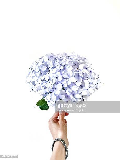 Close-Up Of Woman Holding A Hydrangea Flower Against White Background