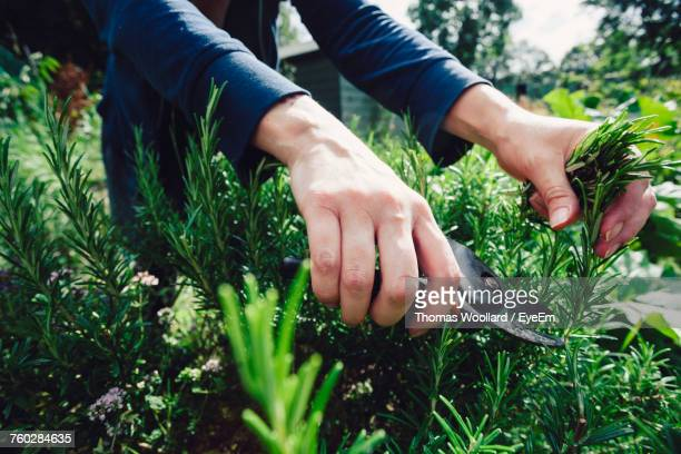 close-up of woman picking herbs - pruning shears stock photos and pictures