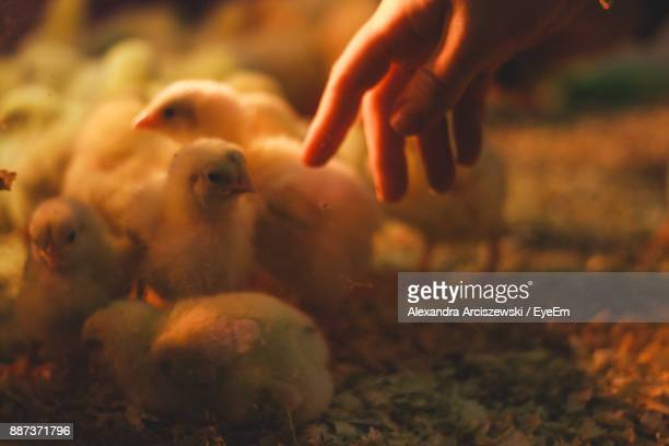 Close-Up Of Woman Playing With Young Chicken At Coop