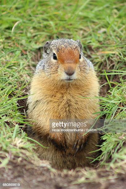 Close-Up Of Woodchuck In Field At Waterton Lakes National Park