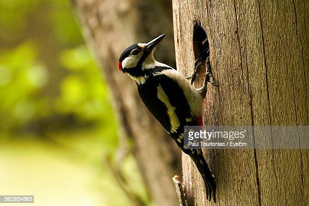 Close-Up Of Woodpecker On Tree Trunk