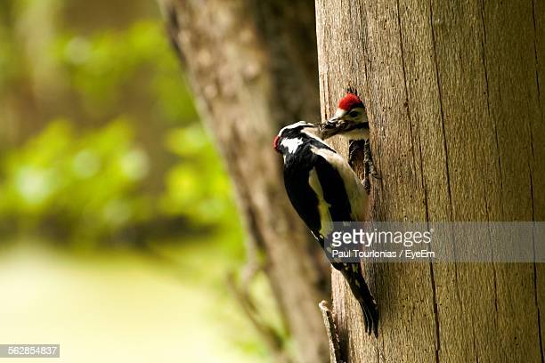 Close-Up Of Woodpeckers On Tree Trunk