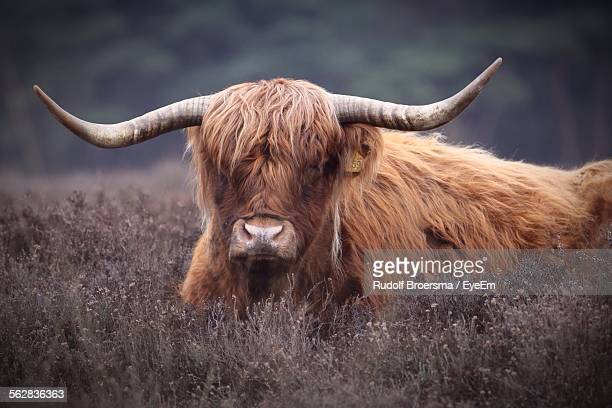 close-up of yak in field - yak stock pictures, royalty-free photos & images