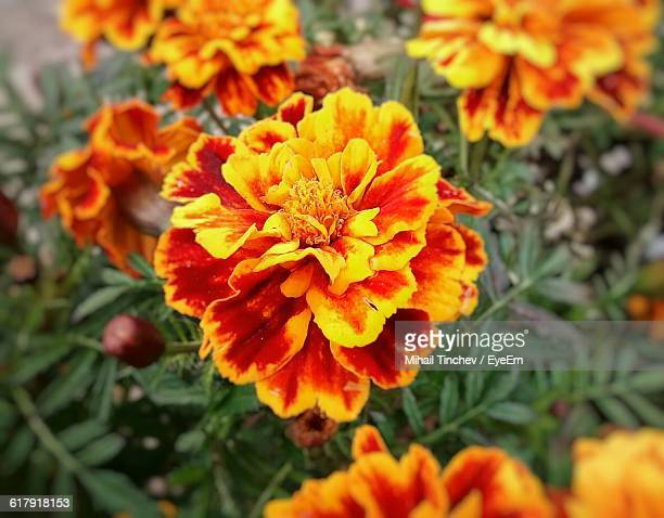 Close-Up Of Yellow And Maroon Marigolds Blooming Outdoors