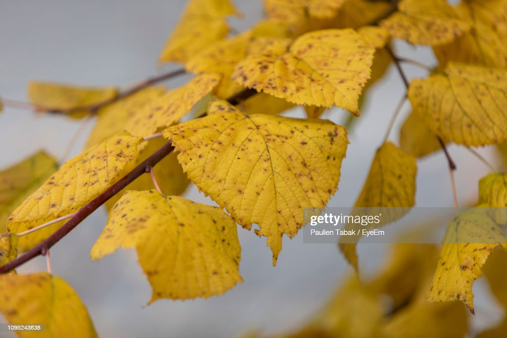 Close-Up Of Yellow Autumn Leaves : Stockfoto