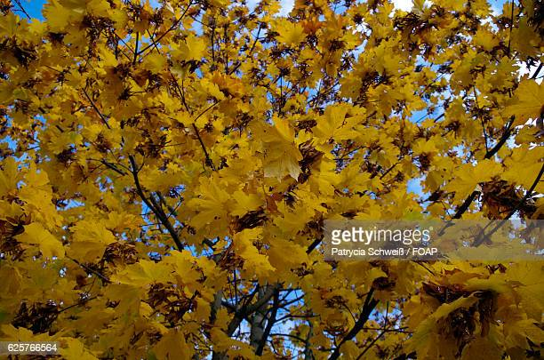 Close-up of yellow autumn tree