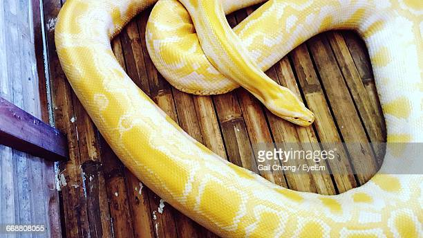 close-up of yellow burmese python on wooden floor - yellow burmese python stock pictures, royalty-free photos & images