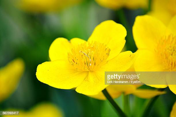 close-up of yellow buttercup flowers - buttercup stock pictures, royalty-free photos & images