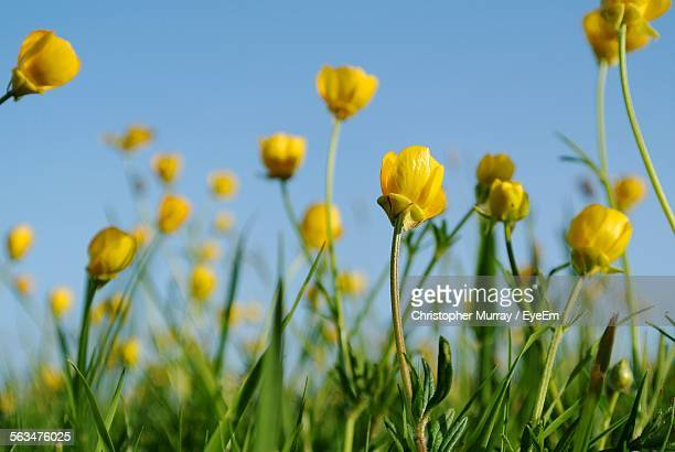 close-up of yellow buttercups blooming in field - buttercup stock pictures, royalty-free photos & images
