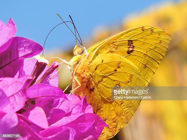 Close-Up Of Yellow Butterfly Pollinating On Pink Flowers