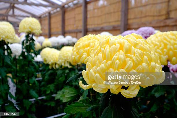 close-up of yellow chrysanthemums blooming indoors - キク科 ストックフォトと画像