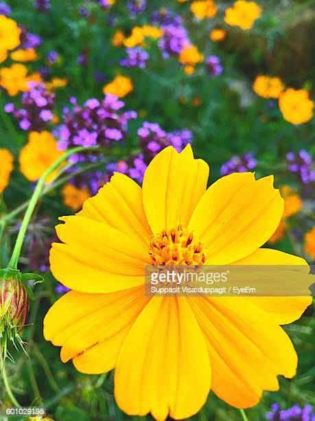 Close-Up Of Yellow Cosmos Flower In Park