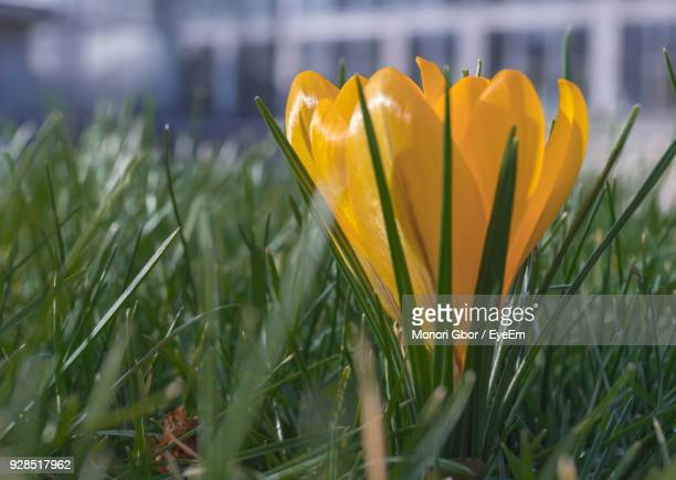 Close-Up Of Yellow Crocus Blooming On Field