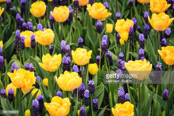 Yellow crocus stock photos and pictures getty images close up of yellow crocus flowers blooming outdoors mightylinksfo
