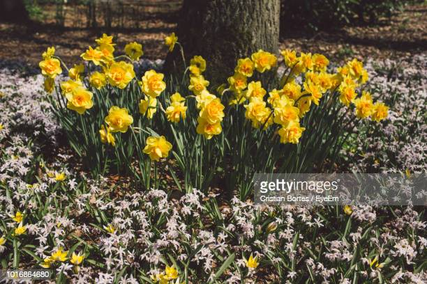 close-up of yellow crocus flowers growing on field - bortes stock pictures, royalty-free photos & images