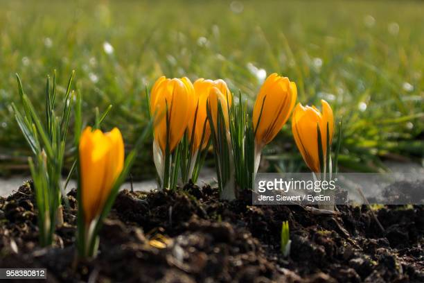 close-up of yellow crocus flowers on field - jens siewert stock-fotos und bilder