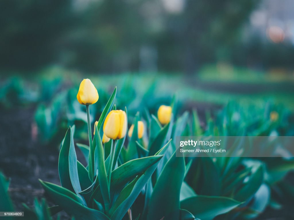 Closeup Of Yellow Crocus Flowers Stock Photo Getty Images