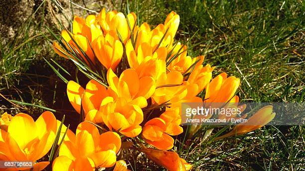 Close-Up Of Yellow Crocuses Blooming On Field