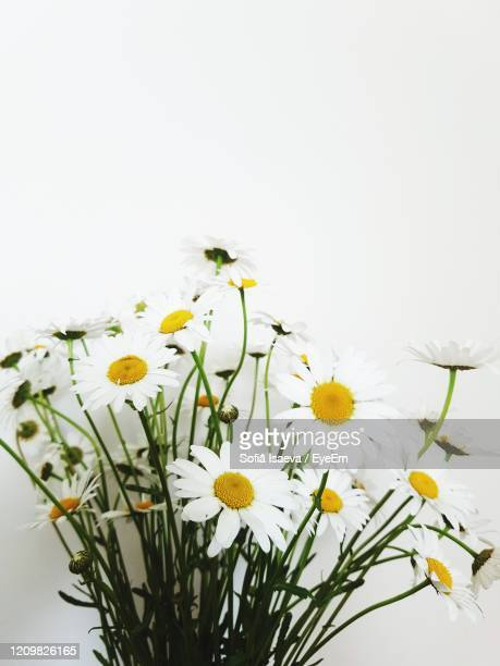 close-up of yellow daffodil chamomile daisy flowers against white background - chamomile tea stock pictures, royalty-free photos & images
