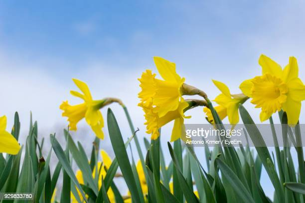 close-up of yellow daffodil flowers blooming in field against clear sky - daffodils stock photos and pictures