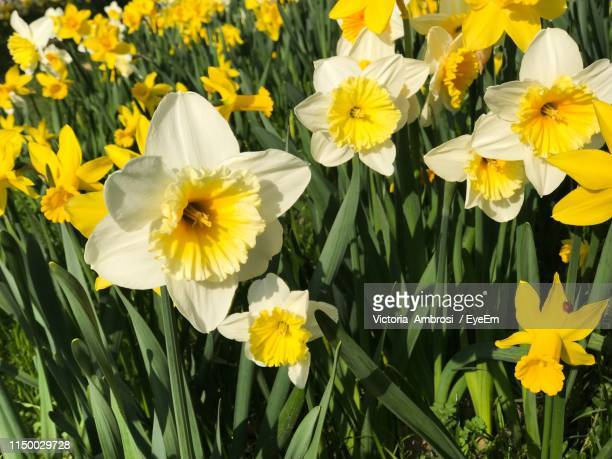 close-up of yellow daffodil flowers in field - field of daffodils stock pictures, royalty-free photos & images