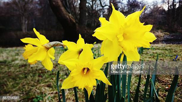 Close-Up Of Yellow Daffodil Flowers In Garden
