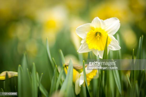 close-up of yellow daffodil flowers on field - daffodils stock photos and pictures