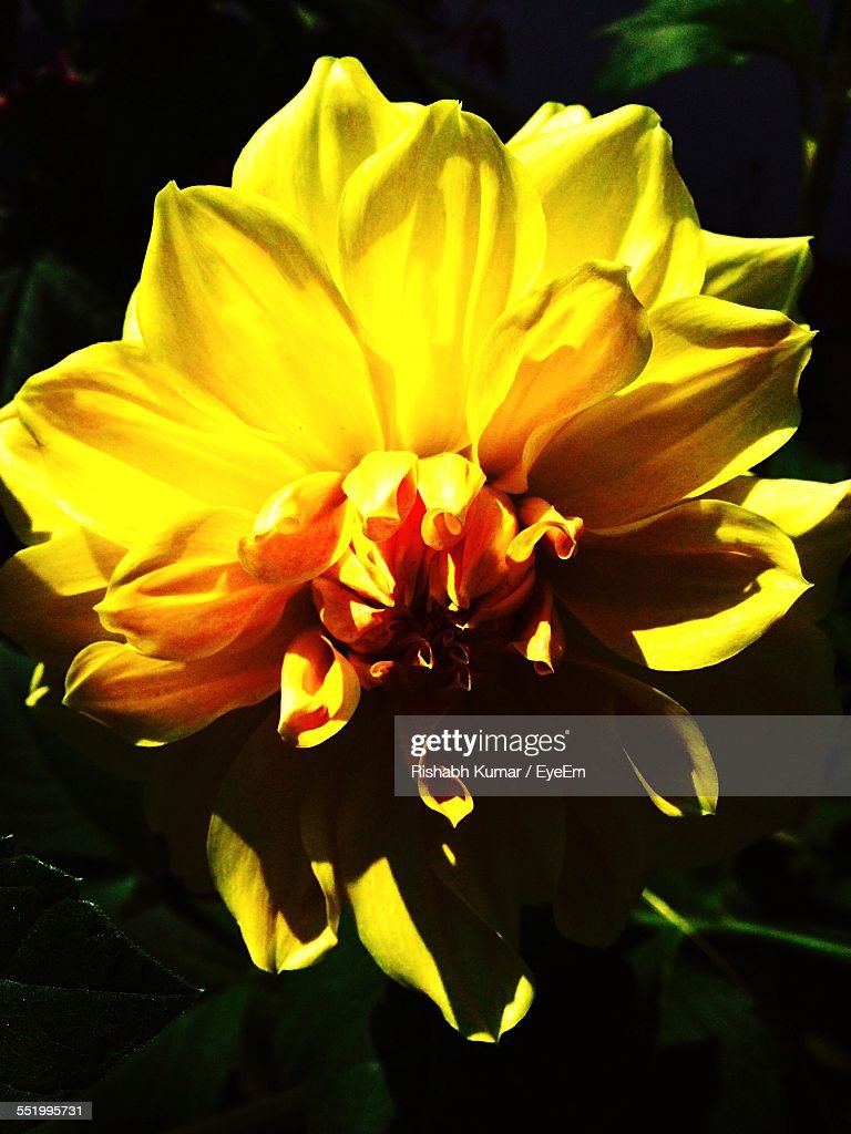 Closeup of yellow dahlia flower stock photo getty images close up of yellow dahlia flower stock photo izmirmasajfo