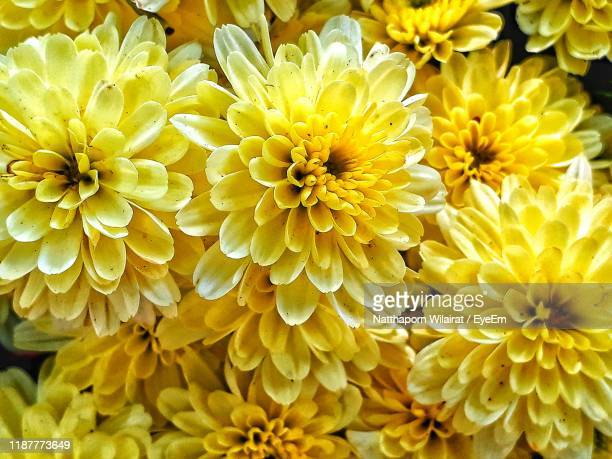 close-up of yellow dahlia - chrysanthemum stock pictures, royalty-free photos & images