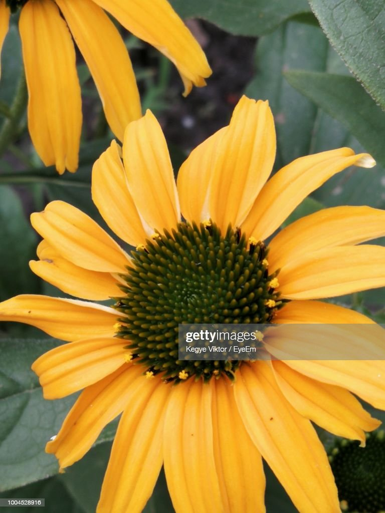 Closeup Of Yellow Daisy Flower Stock Photo Getty Images