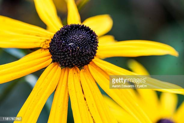 close-up of yellow daisy flower - tetbury stock pictures, royalty-free photos & images