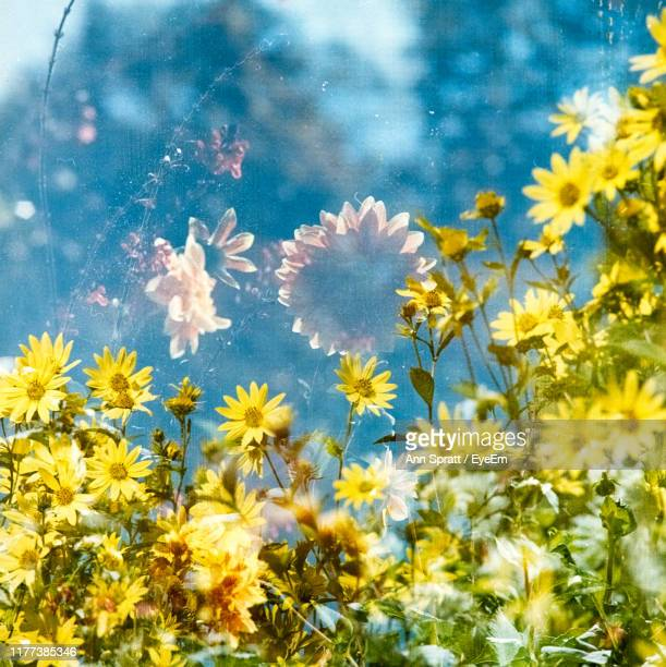close-up of yellow daisy flowers in field - cross processed stock pictures, royalty-free photos & images