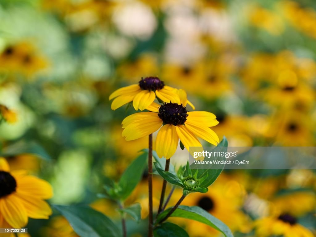 Closeup Of Yellow Daisy Flowers Stock Photo Getty Images