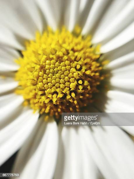 close-up of yellow daisy - erlangen stock photos and pictures