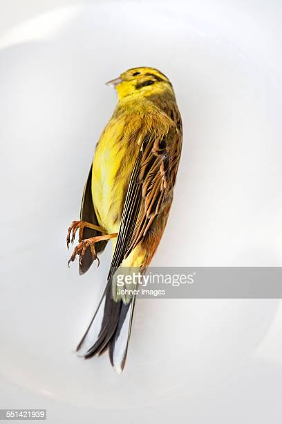 Close-up of yellow dead bird