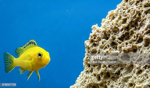 Close-Up Of Yellow Fish Swimming By Coral In Sea