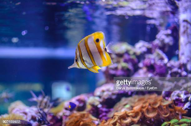 Close-Up Of Yellow Fish Swimming In Aquarium