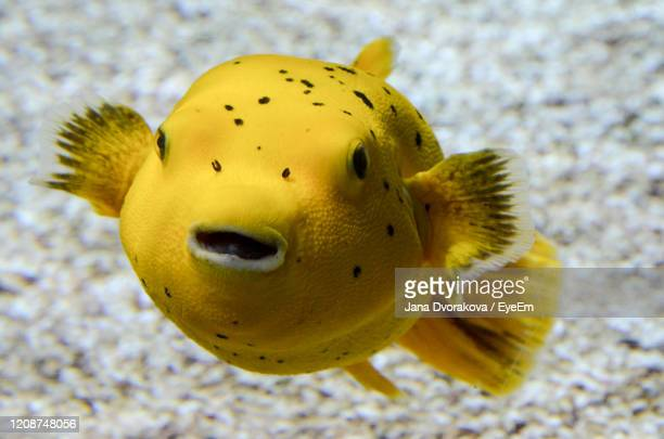 close-up of yellow fish swimming in sea - poissons exotiques photos et images de collection