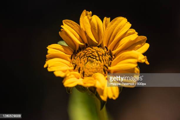 close-up of yellow flower against black background,saverne,france - fleur flore stock pictures, royalty-free photos & images