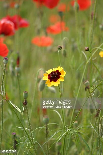 close-up of yellow flower blooming amidst poppies at field - solomon turkel stock pictures, royalty-free photos & images