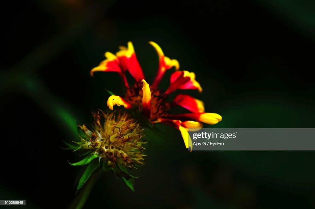 Closeup of yellow flower blooming at night stock photo getty images close up of yellow flower blooming at night stock photo mightylinksfo