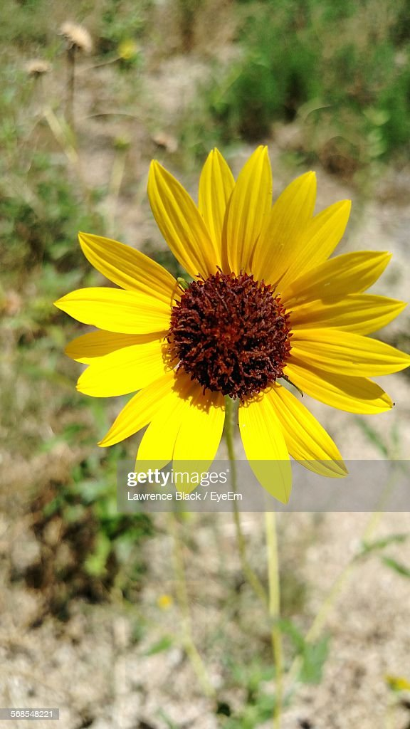 Close-Up Of Yellow Flower Blooming In Field : Stock-Foto