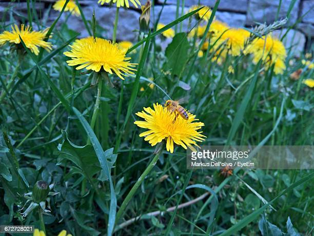 Close-Up Of Yellow Flower Blooming In Field