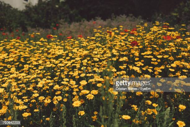 close-up of yellow flower blooming in park - bortes stock photos and pictures