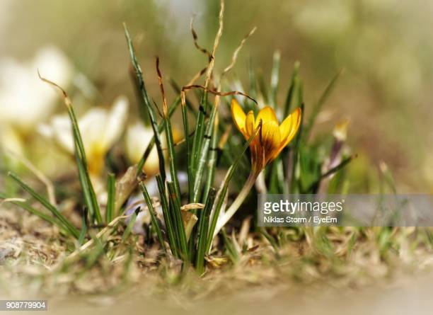close-up of yellow flower blooming on field - niklas storm eyeem stock photos and pictures