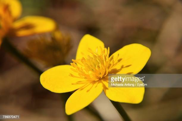 close-up of yellow flower blooming outdoors - anfang stock pictures, royalty-free photos & images